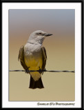 Western Kingbird...