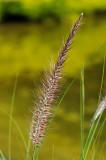 Brown Grass