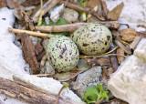 Tern Nest