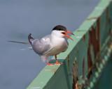 Friendly Tern