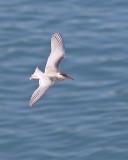 Juvenile Tern Flight