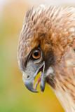 Red-tail Hawk Portrait