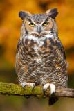 Posing Great Horned Owl