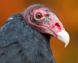 Posing Vulture