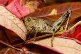 Autumn Grasshopper