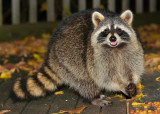 Happy Raccoon!