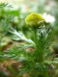 pineapple weed.jpg
