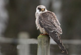 Red-footed Falcon (Aftonfalk) Falco vespertinus