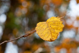Another Last Yellow Leaf
