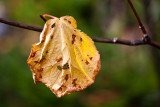 Last Yellow Leaf on Twig #3