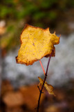 Last Yellow Leaf on Twig #4