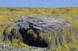 Rockweed, Low Tide