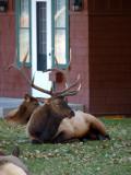 Bull Elk - Plumb Tuckered Out