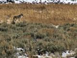 Lamar Valley Coyote