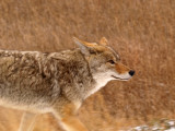 Coyote Going My Way!