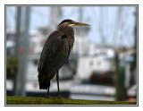 Heron in The Boat Basin