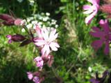 Rödblära.  Foto Anita