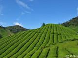 Sungai Palas Tea Plantation.jpg