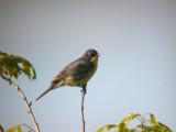 Michigan Kirtland's Warbler Trip