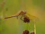 dragonfly6032b.jpg