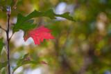 Red Oak Leaf *.jpg