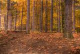 Pines in the Woods *.jpg