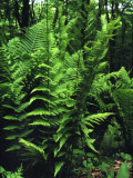 Dixie Wood Fern
