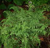 Branford Beauty Fern