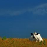 White cow, blue sky (6631)