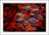 Deep red leaves, Wells