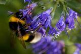 Bumble bee, Montacute