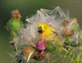 _NW85108 Goldfinch Surrounded by Thistle Seed.jpg