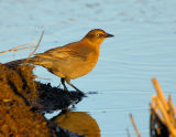 _JFF1669 Rusty Blackbird.jpg