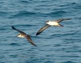 Pelagic Birding 2008