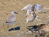 Red Knot, juv., with juv. SBDO (#4 of 5)