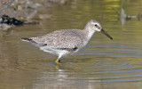 Red Knot, juv. (#5 of 5)