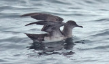 Black-vented Shearwater (#1 of 5)