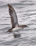 Black-vented Shearwater (#2 of 5)