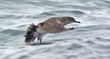 Black-vented Shearwater (#4 of 5)