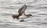 Black-vented Shearwater (#5 of 5)