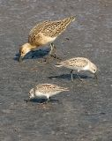 Ruff with Western Sandpipers (#3 of 4)