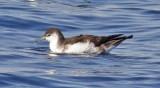 Audubon's, Manx & Wedge-tailed Shearwaters