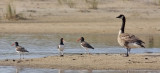 American Oystercatchers with Canada Goose