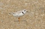 Piping Plover, alternate (#1 of 2)