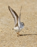 Piping Plover, alternate (#2 of 2)