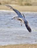 Herring Gull, 1st cycle