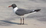 Lauging Gull, alternate adult