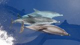 Atlantic Spotted Dolphins