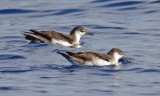 Audubon's Shearwaters