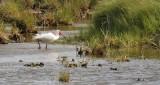 White Ibis, alternate (#1 of 2)